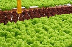 Feld des Kopfsalates Stockfotografie