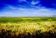 Feld des Kornes Stockfotos