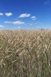 Feld des Kornes stockfotografie