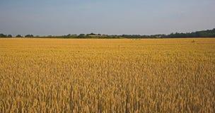 Feld des Kornes stockfoto