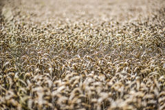 Feld des Kornes im Sommer Lizenzfreie Stockbilder