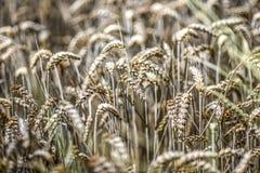 Feld des Kornes im Sommer Lizenzfreie Stockfotos