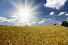 Feld des Kornes mit Bäumen und blauem Himmel Lizenzfreies Stockbild