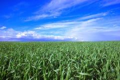 Feld des Kornes und des blauen Himmels auf Frühling Lizenzfreies Stockfoto