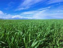 Feld des Kornes und des blauen Himmels auf Frühling Stockfoto
