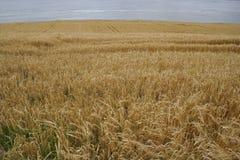 Feld des langen trockenen Grases Stockfotos
