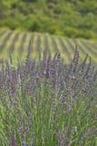 Feld des Lavendels Lizenzfreie Stockfotos