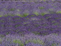 Feld des Lavendels in der Blüte Stockfotografie