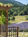 Feld des Lavendels in der Blüte Lizenzfreie Stockfotos