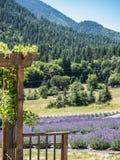 Feld des Lavendels in der Blüte Lizenzfreie Stockfotografie