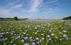 Feld des Leinsamens oder des Flachses in der Blume Stockfotos