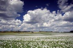 Feld des Mohns Stockbild
