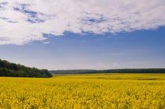 Feld des Rapssamens gegen Himmel mit Wolken lizenzfreies stockfoto