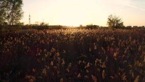 Feld des Reedsonnenuntergangs stock footage