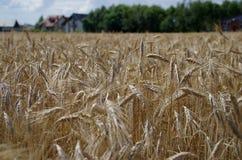 Feld des reifen Kornes und des Bauernhofes Lizenzfreies Stockbild
