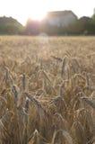 Feld des reifen Kornes und des Bauernhofes Lizenzfreie Stockbilder
