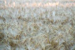 Feld des reifen Roggens am frühen Morgen Hintergrund Lizenzfreie Stockbilder