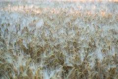 Feld des reifen Roggens am frühen Morgen Hintergrund Stockfoto