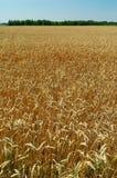 Feld des reifen Weizens Stockbild
