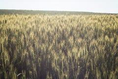 Feld des reifen Weizens Lizenzfreies Stockbild