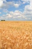 Feld des reifen Weizens Stockfotografie