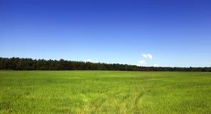 Feld des Roggens Stockfoto