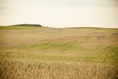 Feld des Roggens Stockbild