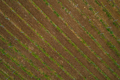 Feld des roten Weinrebeweinbergs lizenzfreie stockbilder
