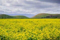 Feld des schwarzen Senfes, Kojote-Hügel regionaler Park, San Francisco Bay, Kalifornien lizenzfreies stockbild
