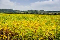 Feld des Sojabohnenöls stockbild