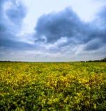 Feld des Sojabohnenöls stockfotos