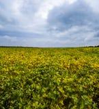 Feld des Sojabohnenöls lizenzfreies stockbild