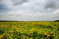 Feld des Sojabohnenöls stockfoto
