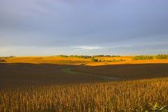 Feld des Sojabohnenöls stockbilder