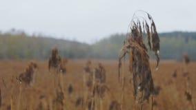 Feld des trockenen Grases und des Waldes stock video footage