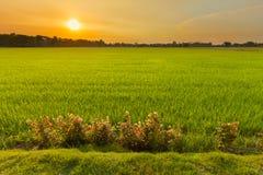 Feld des ungeschälten Reises des grünen Grases in der Dämmerung Lizenzfreie Stockbilder