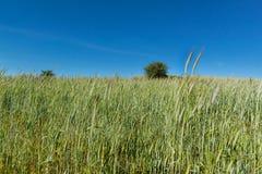 Feld des unreifen Kornes Wachsen von landwirtschaftlichen Kulturen Ackerland in der Tschechischen Republik Lizenzfreie Stockfotografie
