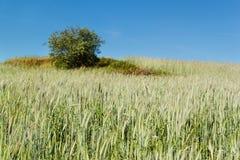 Feld des unreifen Kornes Wachsen von landwirtschaftlichen Kulturen Ackerland in der Tschechischen Republik Stockfotografie