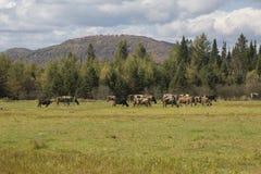 Feld des Viehs lizenzfreies stockfoto