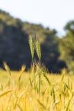 Feld des Wachsens der Weizennahaufnahme Stockfotografie