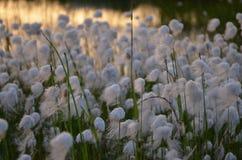 Feld des weißen Löwenzahns stockfoto