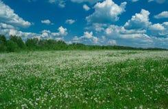 Feld des weißen Löwenzahns Lizenzfreie Stockfotos
