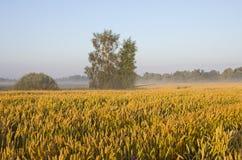 Feld des Weizens. Stockfoto