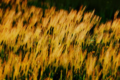 Feld des Weizens Lizenzfreies Stockfoto
