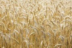 Feld des Weizens Lizenzfreie Stockfotos