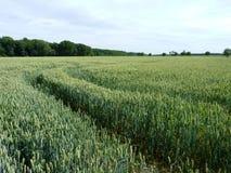 Feld des Weizens Stockbilder