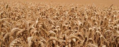 Feld des Weizens Stockbild
