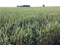 Feld des Weizens Lizenzfreie Stockbilder