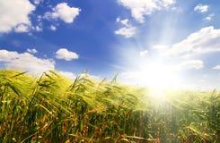Feld des Weizens auf einem Hintergrundsonnenaufgang Lizenzfreie Stockfotografie