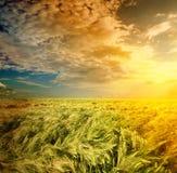 Feld des Weizens auf einem Hintergrundsonnenaufgang Lizenzfreies Stockfoto